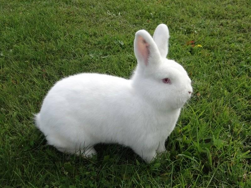Новозеландский кролик: описание породы, фото, разновидности, содержание, отзывы