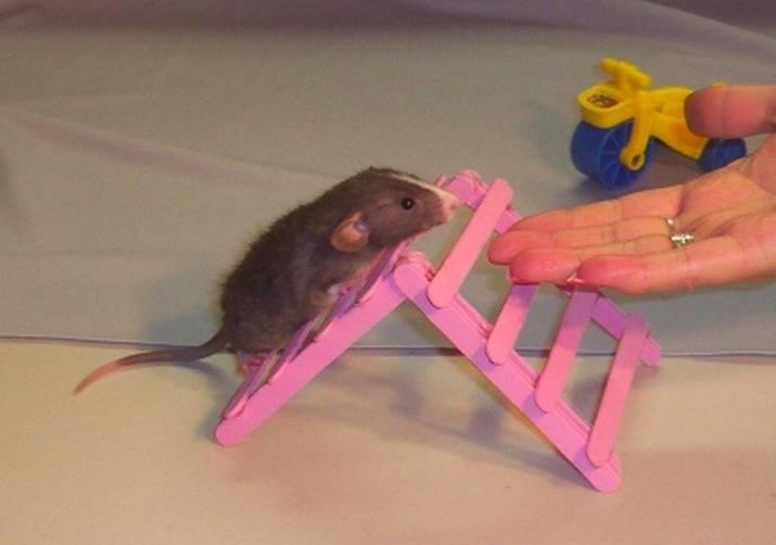 Дрессировка домашних крыс: с чего начать, как приучить к имени и научить трюкам