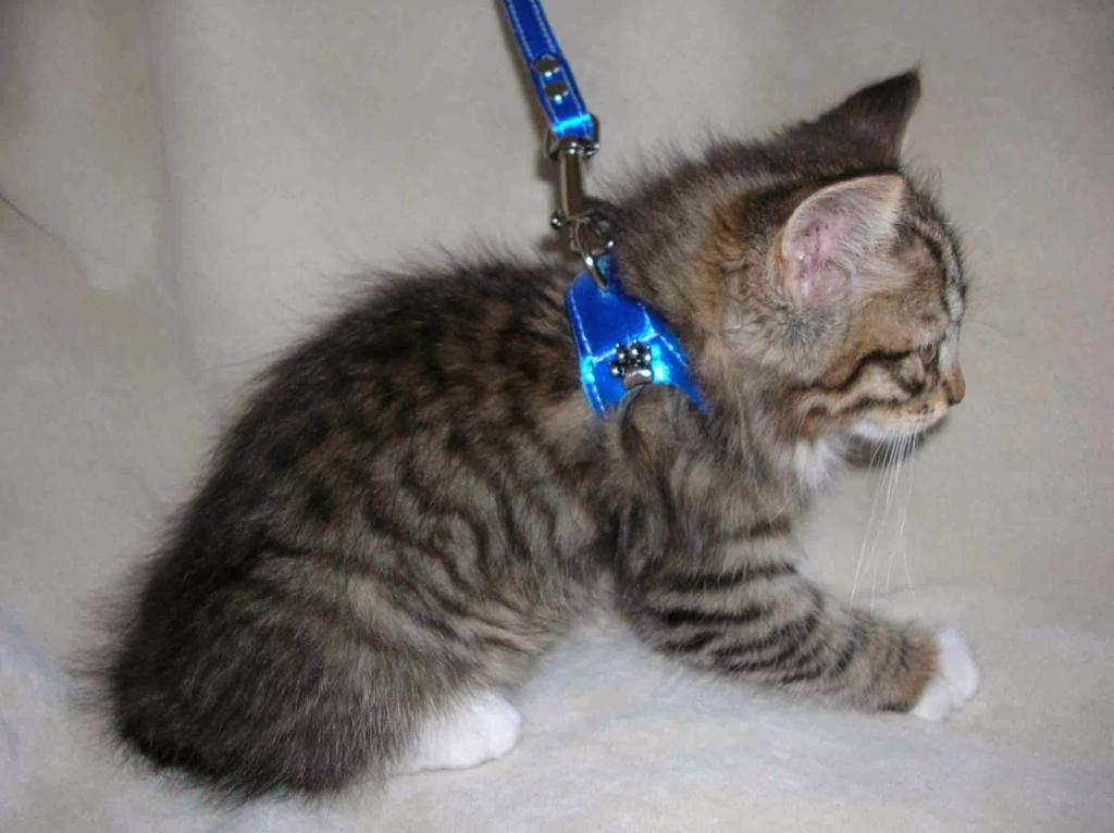Как надеть шлейку на кошку или кота: пошаговые инструкции с фото и видео, особенности и конструкция различных видов приспособлений