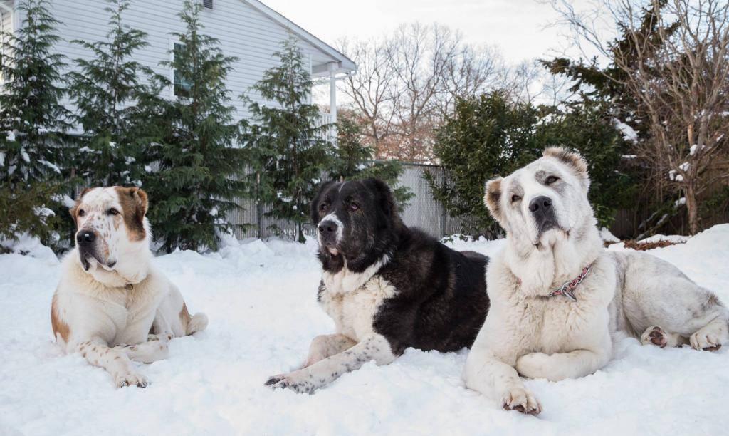 Собака алабай - характеристика породы