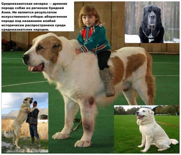 Сравнение алабая и собак других пород: физические возможности питомцев и кто из них сильнее