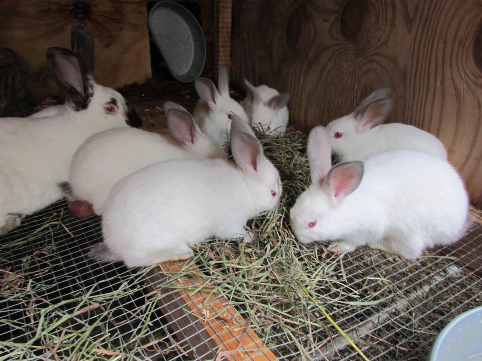 Самые крупные кролики мясных пород: содержание и разведение