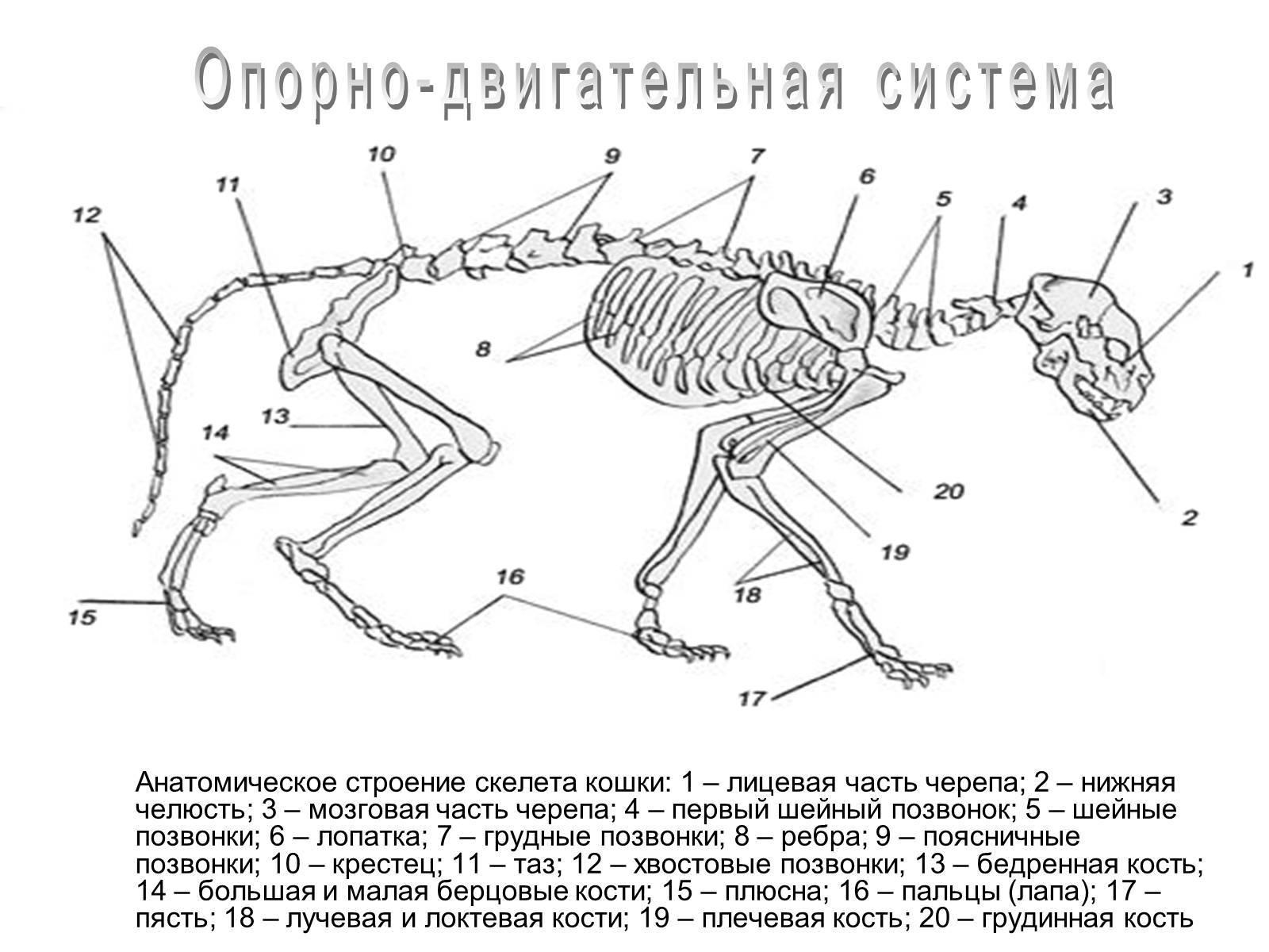 Скелет человека: название, описание костей, фото и видео