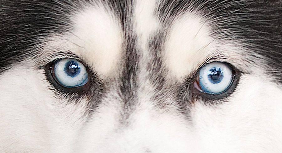 Цвет глаз хаски: голубоглазые и арлекины.