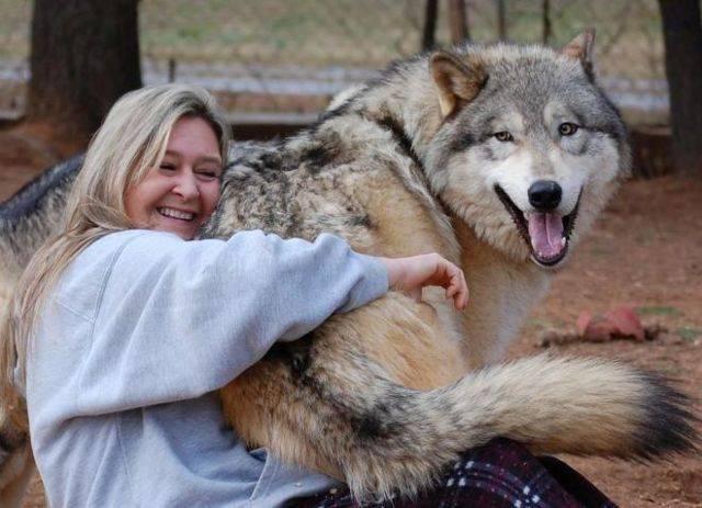 Волкособ - описание породы и характер собаки