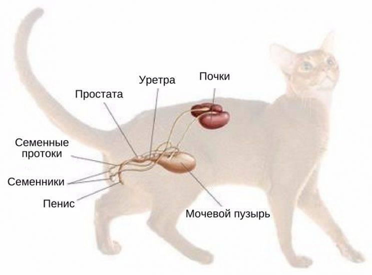 Затрудненное мочеиспускание у кота причины лечение