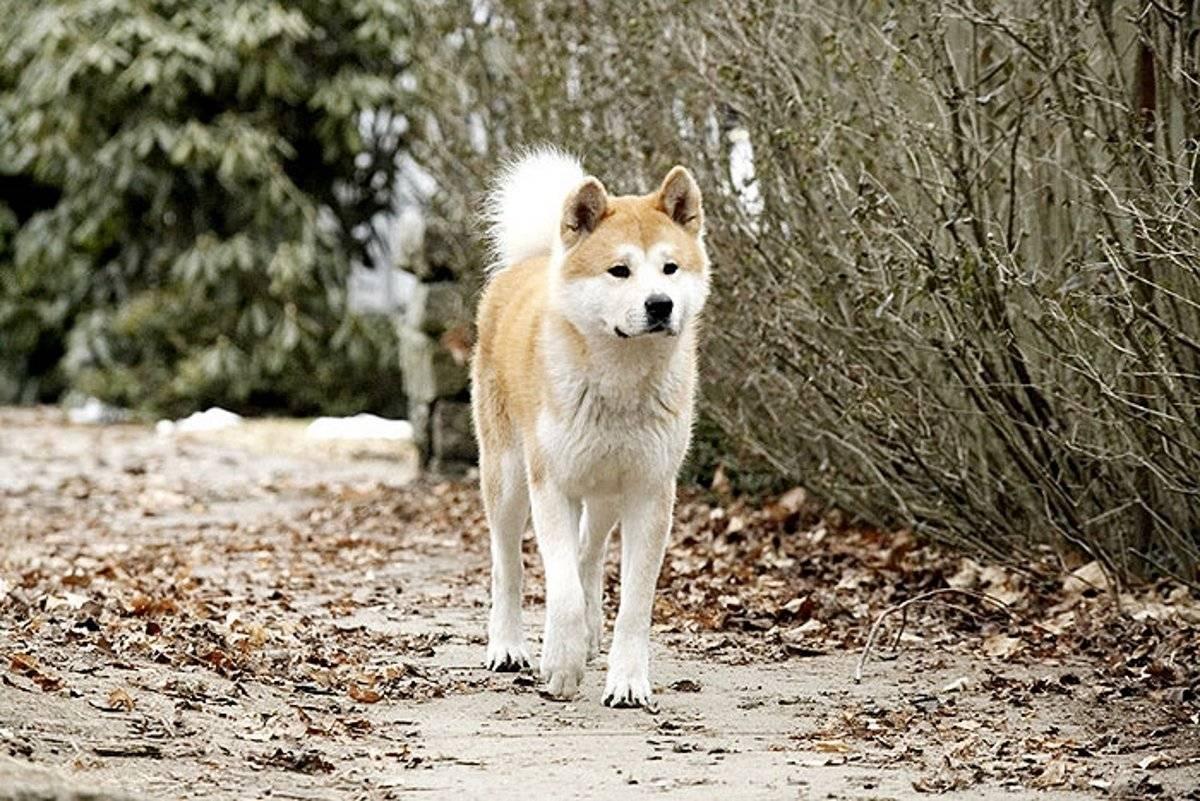 Хатико: порода собаки из фильма   фото, цена какая порода