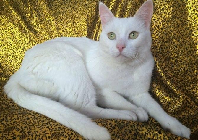 Турецкая короткошерстная (анатолийская кошка):фото, цена, описание породы