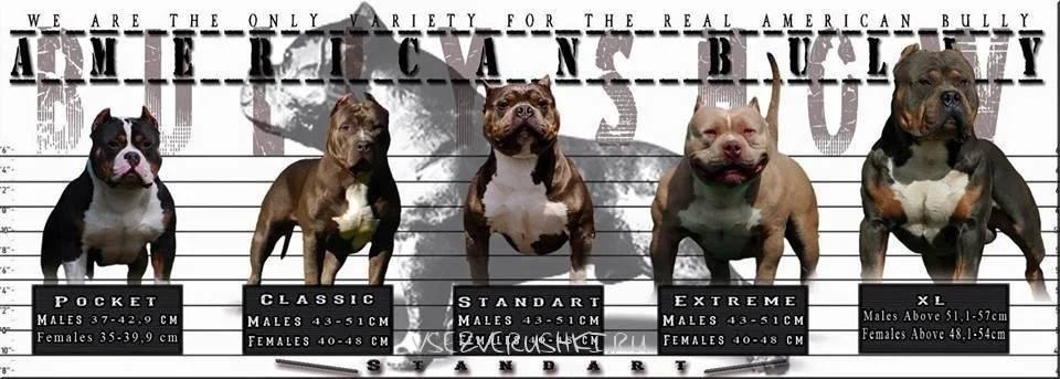 Американский булли - описание породы и характер собаки