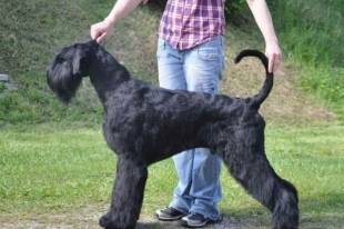 Выбор щенка породы ризеншнауцер