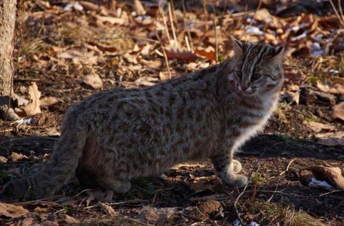 Дикие степные коты — образ жизни, характер, возможность приручения