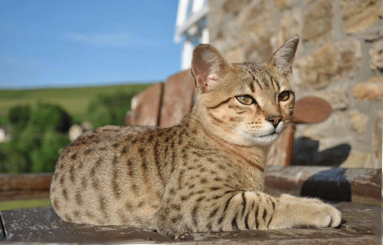 Египетская мау: все о кошке, фото, описание породы, характер, цена