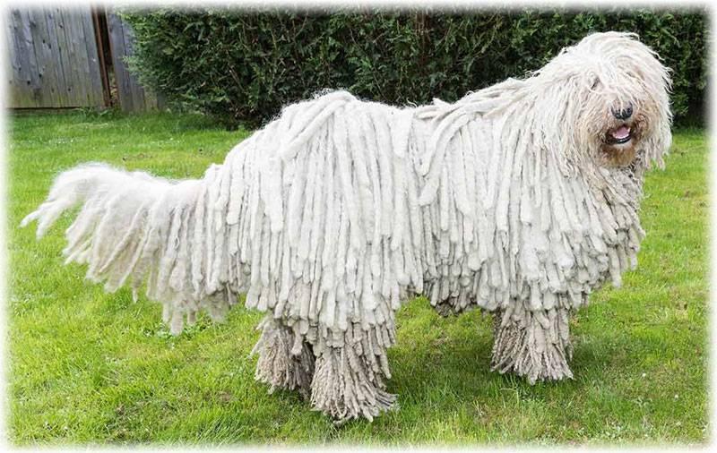 Топ-13 пород собак с длинными ушами: подборка с фото