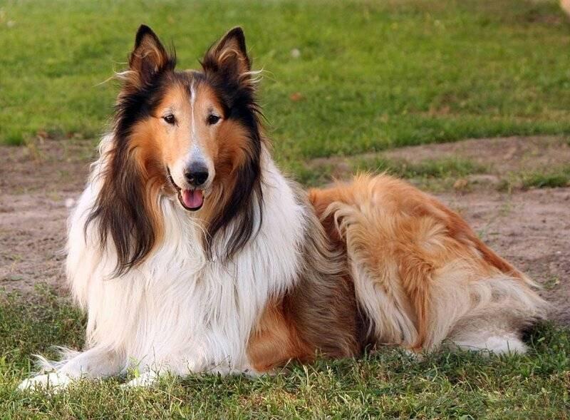 Самые лучшие собаки для путешествий. фото-обзор