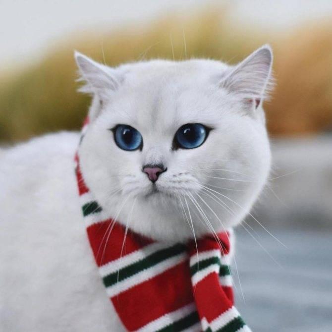ᐉ кот коби: белая кошка с красивыми глазами, порода или кличка - kcc-zoo.ru