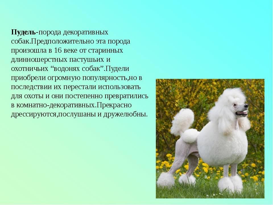 Малый или средний пудель: фото, описание и характеристика породы