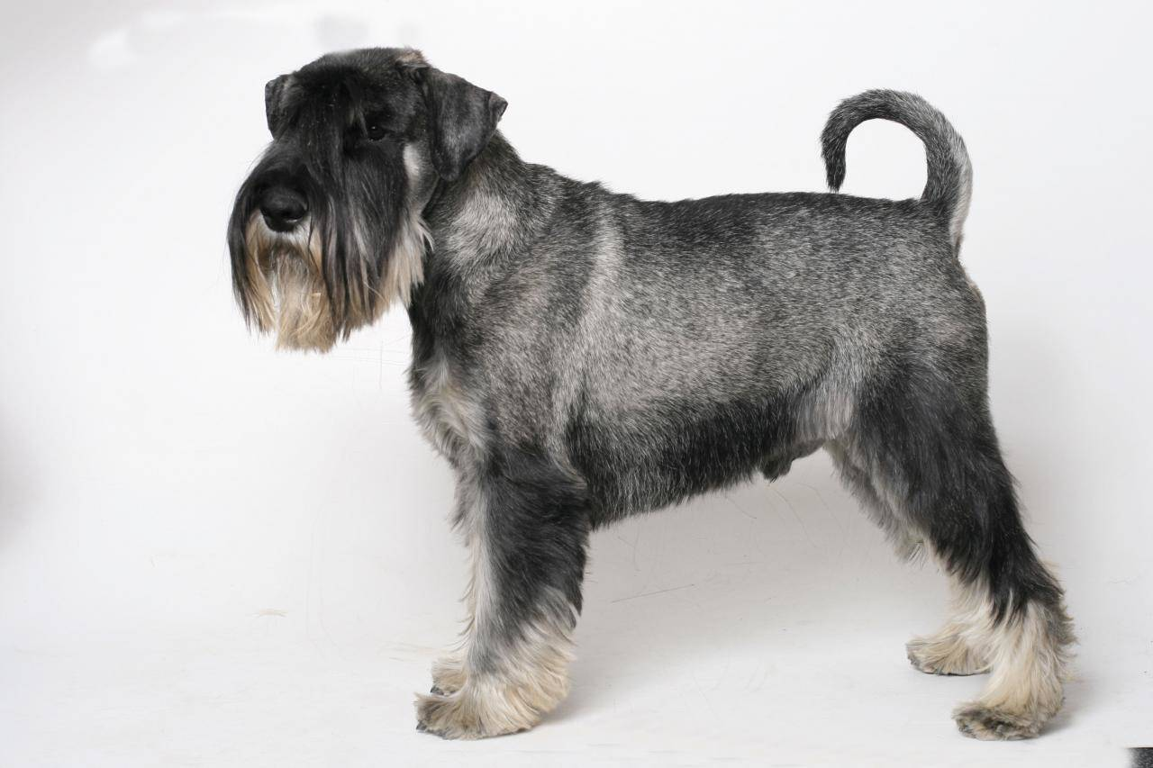 Ризеншнауцер — описание: плюсы и минусы большой черной собаки