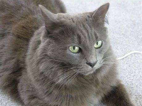 Характер кошек породы нибелунг, особенности ухода и содержания