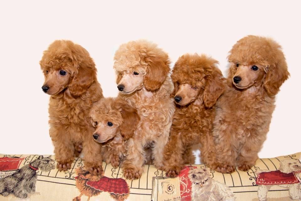 Описание породы карликовый пудель: характер, фото и цена щенков