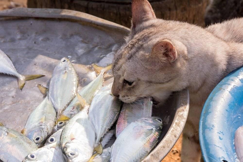 Чем кормить кошку: сухой корм – или мясо и рыба? как правильно кормить кошку. рыба и мясо для кошки или сухой корм.