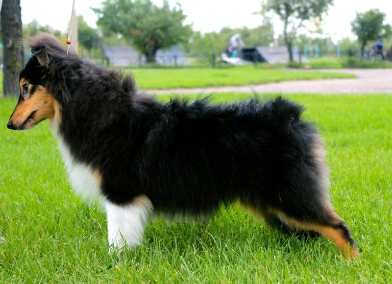 Шетландская овчарка (шелти) – собака-нянька