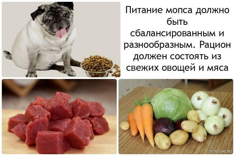 Что из продуктов питания можно и нельзя мопсу
