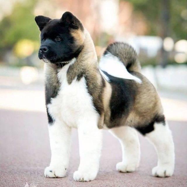 Собака американский акита - характеристика и описание породы