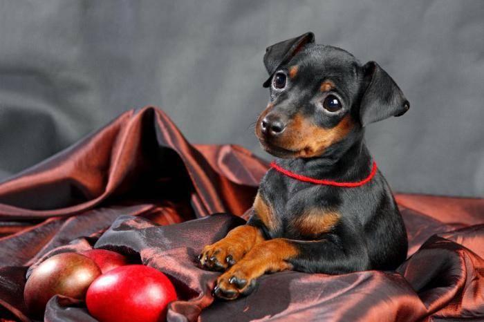 Карликовый пинчер (фото): любвеобильный и энергичный малыш