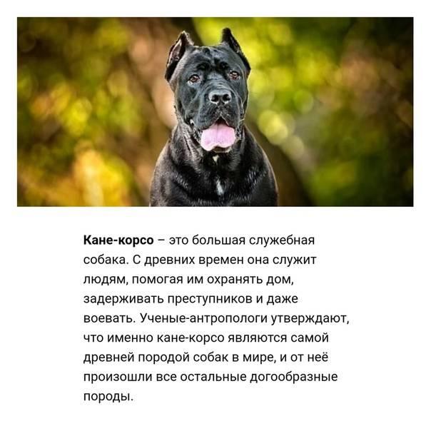 Кане-корсо: уверенный в себе и неподкупный сторож - интересное про собак