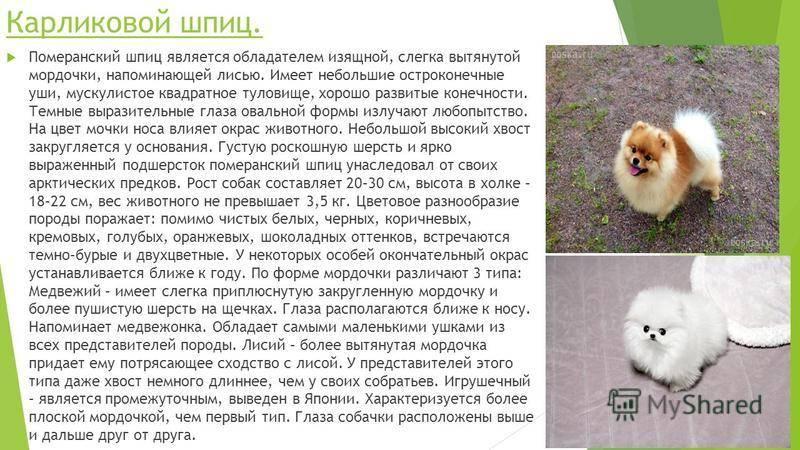 Белый карликовый шпиц: описание породы