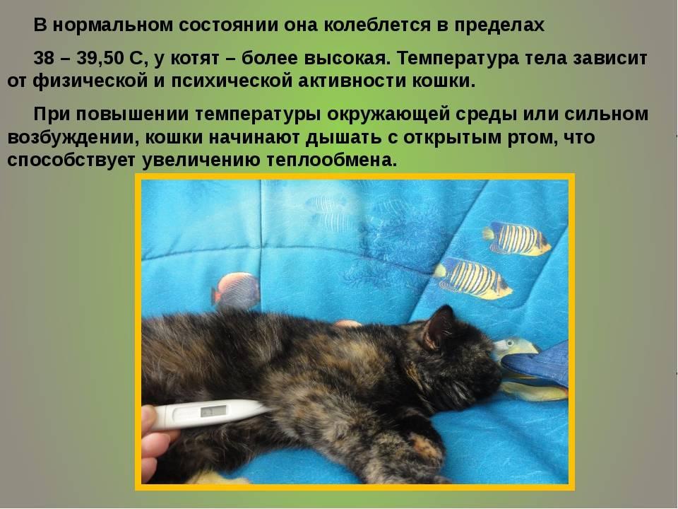 Температура тела кошки – нормальная, повышенная, пониженная, как измерить