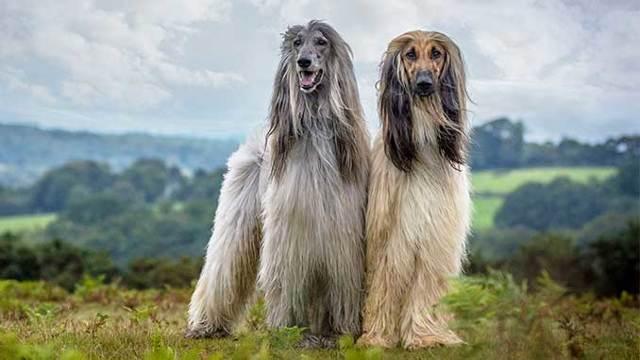 Афганская борзая собака. описание, особенности, виды, характер, уход и цена породы