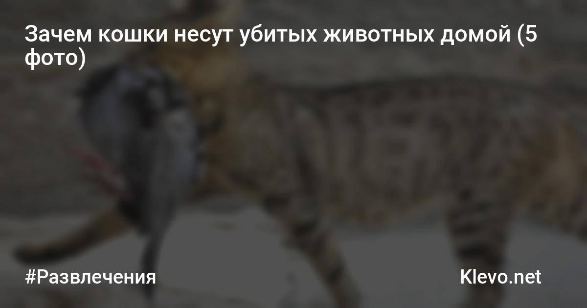 Повадки кошек: почему кошка делает это…?