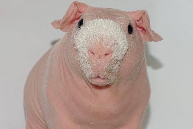 Содержание лысой морской свинки скинни