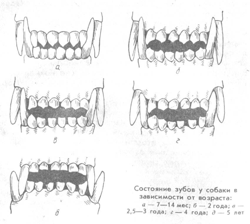 Правильно определяем возраст щенка и взрослой собаки: основные по зубам и альтернативные способы