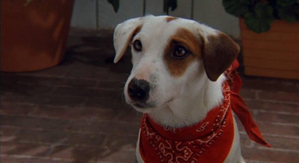 Собака из маски - описание породы и цены на щенков