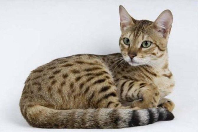 Серенгети — описание породы и характер кошки