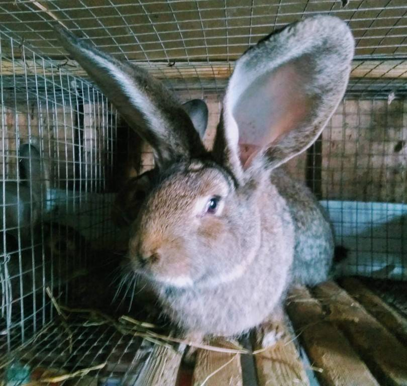Кролик серый великан: все о породе и особенности разведения
