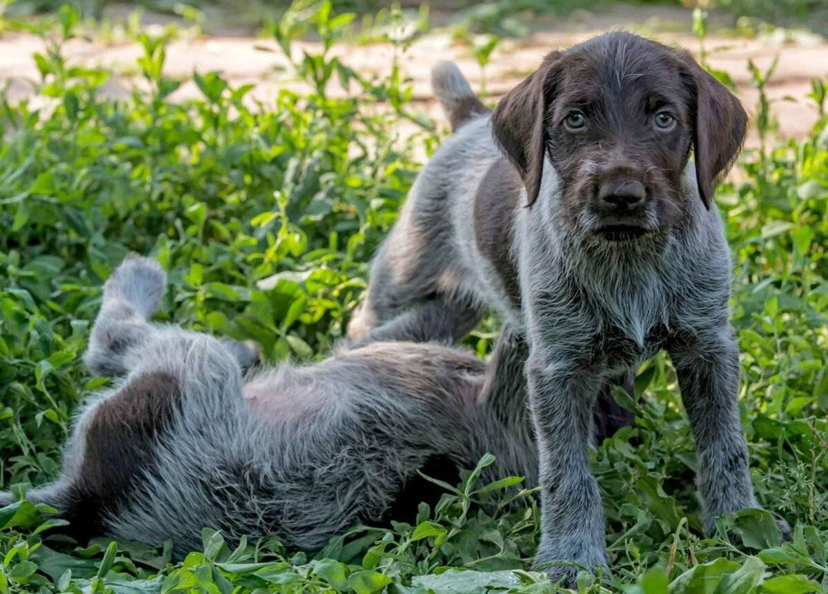 Порода собак дратхаар: прирожденные охотники иверные друзья