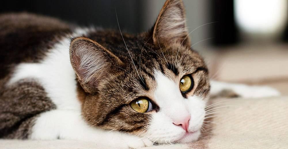 Кот скучает: что делать, когда питомцу скучно без хозяина