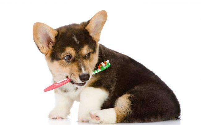 Корги: дрессировка и воспитание щенка в домашних условиях