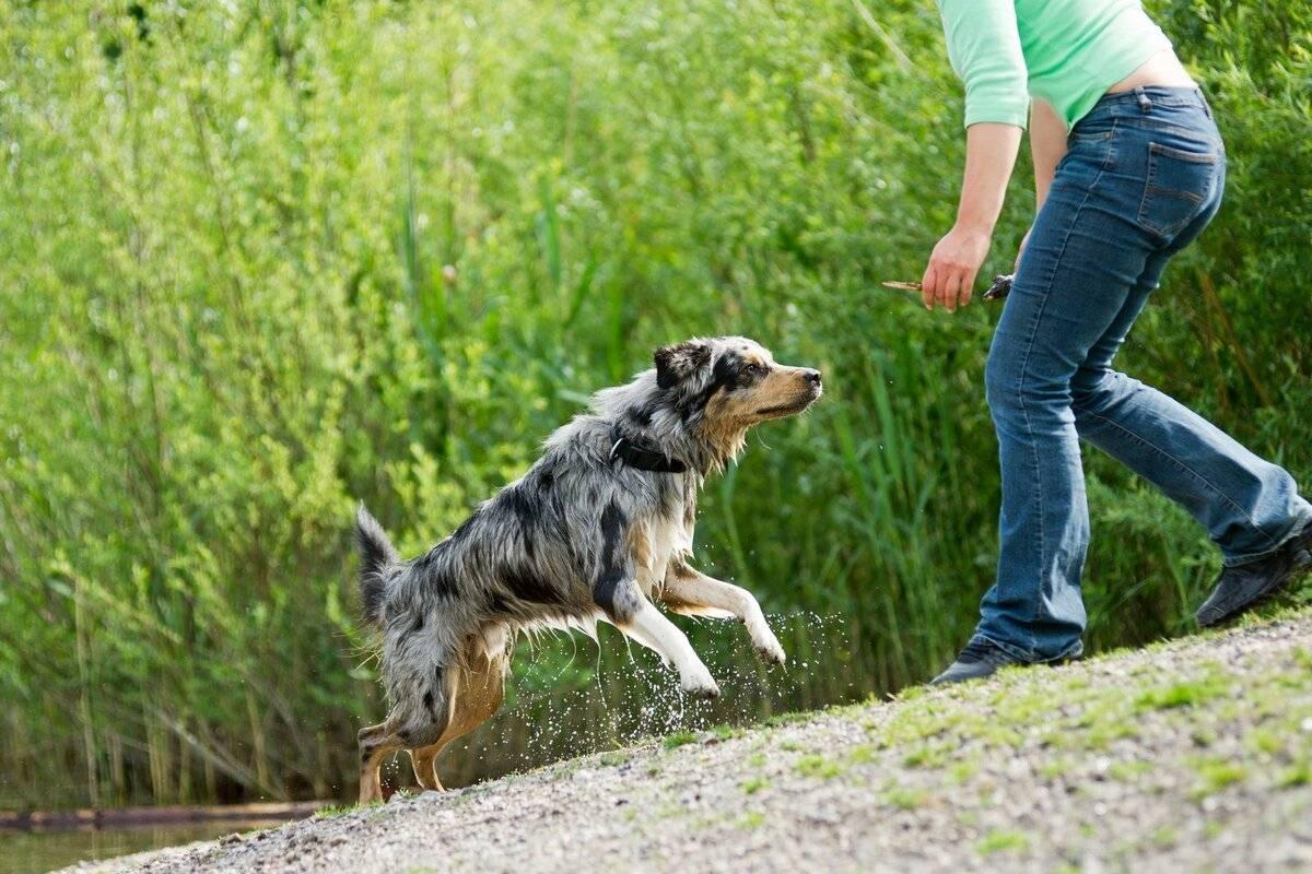 Как научить собаку запрыгивать на руки, предметы - dogtricks.ru