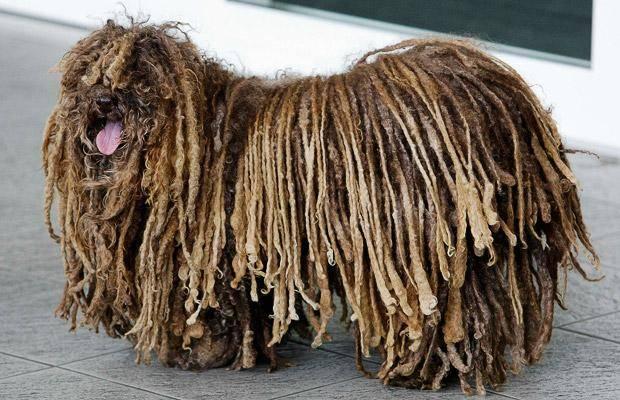 Породы собак с дредами - фото и названия