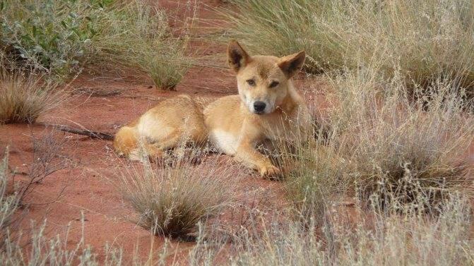 Собака динго: фото австралийской дикой породы, описание и места обитания животного