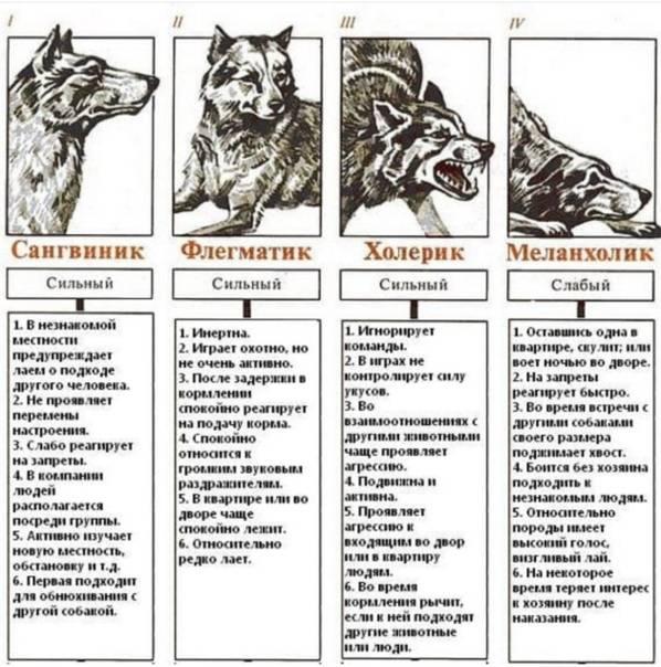 Керн терьер: описание породы и характер, сколько живут, уход и содержание