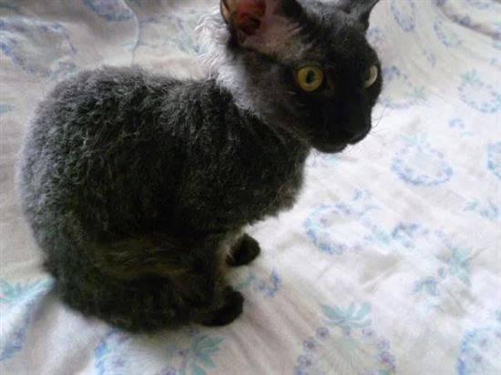 Подробное описание метисов и их отличия от породистых кошек