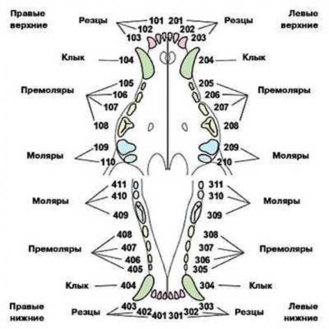Смена зубов у щенков: этапы, нюансы, трудности.