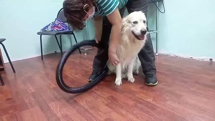 Экспресс линька для собак как делается