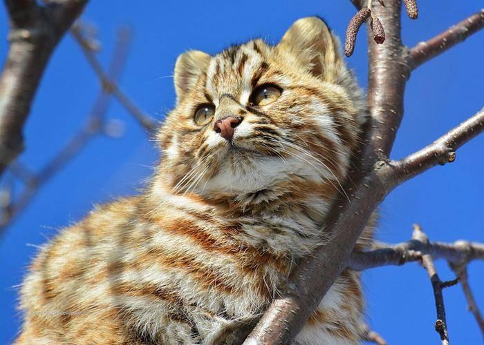 Амурский лесной кот: ? внешний вид, повадки, среда обитания животного