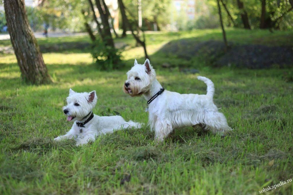 Топ-30 лучших пород собак для квартиры: самые популярные собаки мелких, средних и крупных пород для содержания в квартире